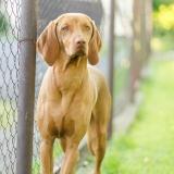 Vizsla je krátkosrstý lovecký pes